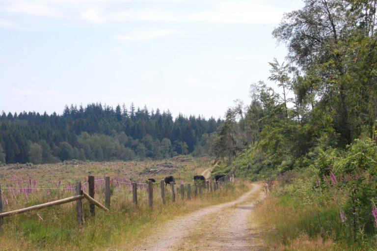 buffalos near VennBahn in Hunningen