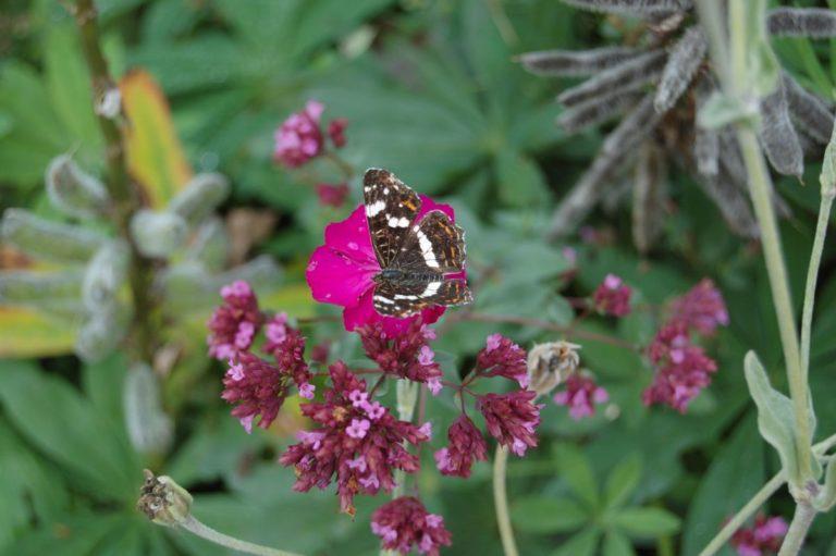butterfly landkaartje ARASCHNIA LEVANA